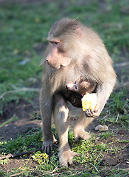 Mother baboon Maya carries a chunk of pineapple as she forages for other food, and her one-month-old baby, whom zookeepers have named Akila, clings to her chest, in the Hamadryas baboon exhibit at the Oakland Zoo, Wednesday, Dec. 23, 2015, in Oakland, Calif. Akila was born Nov. 15, and is the third for ten-year-old Maya and Martijn, the 14-year-old troop leader. (D. Ross Cameron/Bay Area News Group)