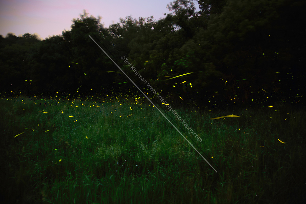Fireflies in a field in New York State in early June.  This is a thirty minute exposure.