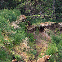USA, Alaska, Katmai. Grizzly sow and first year cubs on riverbank.