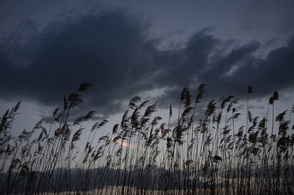 Reeds in Nakolec, FYR Macedonia