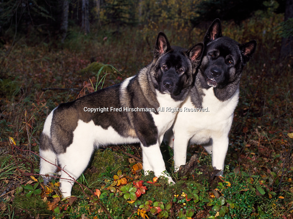 """Akitas, AKC, 7-month-old female """"Kierra"""" and 2-year-old male """"Dax"""" owned  by Carrie Keays and photographed in forest near Wasilla, Alaska.  (PR)"""