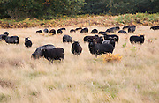 Conservation grazing by Hebridean sheep on Suffolk Wildlife trust managed land, Sutton, Suffolk, England