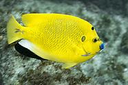 Threespot angelfish (Pomacanthus trimaculatus)