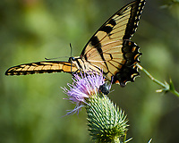 Eastern Tiger Swallowtail butterfly. Image taken with a Nikon N1V3 camera and 70-300 mm VR lens