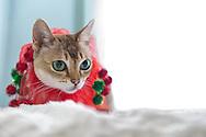 Singapura Christmas Cat Minnie sitting on snowy white blanket by window