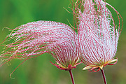 Three-flowered avens or prairie smoke seed head<br /> Birds Hill Provincial Park<br />