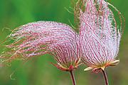 Three-flowered avens or prairie smoke seed head<br /> Birds Hill Provincial Park<br />Manitoba<br />Canada