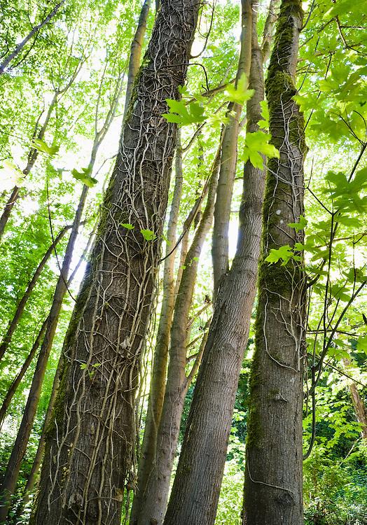 Conservation efforts cut invasive ivy killing it on the trees.  West Seattle, Washington, USA.