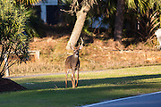 Deer roaming freely along a busy road on Fripp Island, SC.