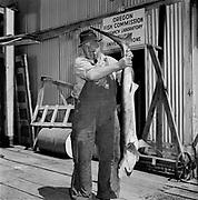 Y-590629B-02.  Newport. Oceanography. Oregon State Fish Laboratory. Blue shark. June 29, 1959
