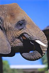 Elephant Eating Bread