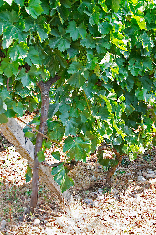 Closeup of vine with leaf leaves and grape bunches. Tempranillo grape variety. Kantina Miqesia or Medaur winery, Koplik. Albania, Balkan, Europe.