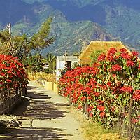 Americas, Central American, Guatemala, Lake Atitlan. Poinsettias grow and bloom at farms surrounding Lago Atitlan.