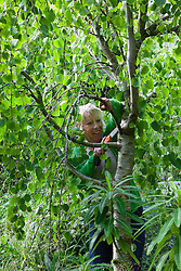 Carol Klein pruning dead branches from Cercidiphyllum japonicum f. pendulum with a pruning saw