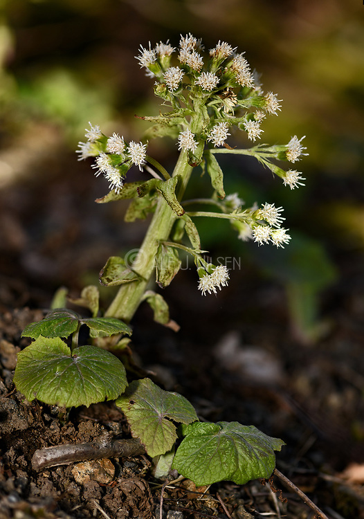 White butterbur (Pestacites aslbus) flowering. Photo from Hidra, Agder, south-western Norway in late April.