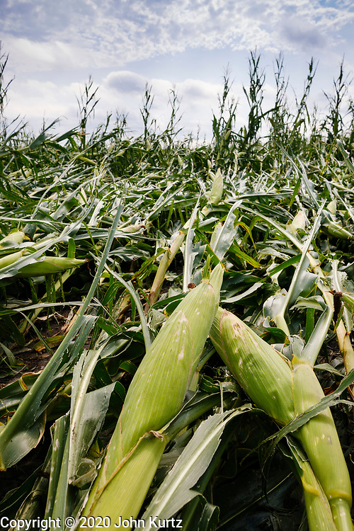 """12 AUGUST 2020 - SLATER, IOWA: Ears of corn on the stalk lay in a corn field with flattened corn after a derecho storm passed through central Iowa. According to Iowa Governor Kim Reynolds, the storm damaged 10 million acres of corn and soybeans in Iowa, about 1 one-third of Iowa's 32 million acres of agricultural land. Justin Glisan, Iowa's state meteorologist, said the storm Monday, Aug. 10, lasted 14 hours and traveled 770 miles through the Midwest before losing strength in Ohio. The storm was a seldom seen """"derecho"""" that packed straight line winds of nearly 100MPH. The storm pummelled Midwestern states from Nebraska to Ohio.     PHOTO BY JACK KURTZ"""