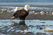 An adult bald eagle stands on the beach at Anchor Point, Alaska.