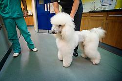 Standard poodle at Rushcliffe Veterinary Surgery, Nottingham, UK.