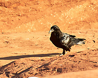Common Raven (Corvus corax). Delicate Arch, Arches National Park, Utah. Image taken with a Nikon D700 camera and 85 mm f/1.4  lens.