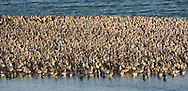 Knot Calidris canutus L 25cm. Dumpy, robust wader. Forms large flocks in winter. Has white wingbar but otherwise lacks distinctive features in non-breeding plumage. Sexes are similar. Adult in winter has uniform grey upperparts and white underparts. Bill is dark and legs are dull yellowish green. In summer plumage (sometimes seen in late spring or early autumn) has orange-red face, neck and underparts; back is marked with black, red and grey. Legs and bill are dark. Juvenile resembles winter adult but has scaly-looking back and peachy flush to breast. Voice Utters a sharp kwet call. Status Non-breeding visitor to Britain and Ireland. Locally common in winter on estuaries and mudflats.