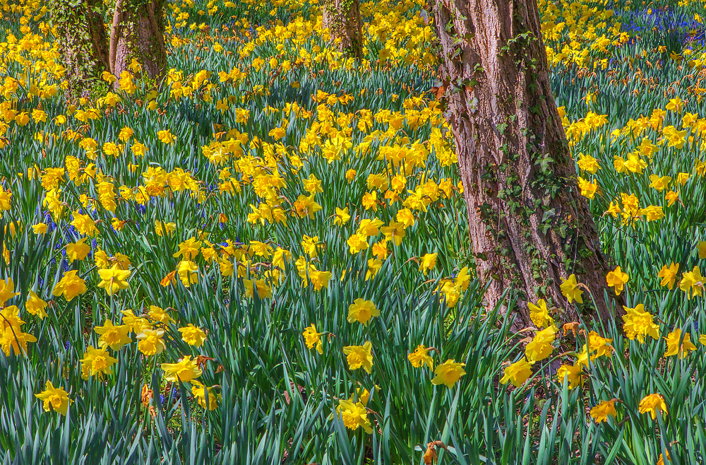 Field of daffodils off of Old King's Highway in Brewster, MA on Cape Cod, Massachusetts. <br /> <br /> Cape Cod Sea of Daffodils flower fine art photography images are available as museum quality photography prints, canvas prints, acrylic prints, wood prints or metal prints. Fine art prints may be framed and matted to the individual liking and decorating needs:<br /> <br /> https://juergen-roth.pixels.com/featured/cape-cod-sea-of-daffodils-juergen-roth.html<br /> <br /> Good light and happy photo making!<br /> <br /> My best,<br /> <br /> Juergen
