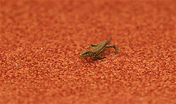 TIRANA, ALBANIA - Monday, November 19, 2018: A gecko makes an appearance during a press conference at the Tirana International Hotel ahead of the International Friendly match between Albania and Wales. (Pic by David Rawcliffe/Propaganda)