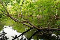 NC01292-00...NORTH CAROLINA - Pond in the maritime forest along the Discovery Trail on the Outer Banks at Nags Head Woods Reserve; a National Natural Landmark cared for by the Nature Conservancy.