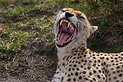 Yawning (laughing?) cheetah, Serengeti National Park, Tanzania.