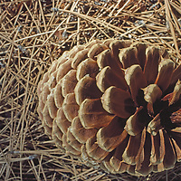 A Jeffrey Pine cone sits amongst pine needles.