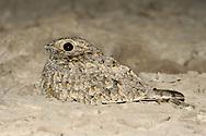 Sykes's Nightjar - Caprimulgus mahrattensis