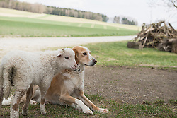 Lamb with dog in barn, Bavaria, Germany