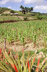 Countryside near Banes; Cuba; with a field of maize growing; palm trees and housing,