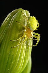 THEMENBILD - Die Kürbisspinne (Araniella cucurbitina) ist eine kleinere Radnetzspinne aus der Familie der Echten Radnetzspinnen (Araneidae). Sie trägt ihren Namen entsprechend der glänzenden, gelblich-grünen Färbung des Hinterleibs, hier im Bild Kuerbisspinne (Araniella cucurbitina) Jungtier, auf Bartiris (Iris germanica) in the family of genuine orb weavers (Araneidae). She carries her name in accordance with the shiny, yellowish-green coloration of the abdomen, pictured on 2013/06/07. EXPA Pictures © 2013, PhotoCredit: EXPA/ Eibner/ Michael Weber<br /> <br /> ***** ATTENTION - OUT OF GER *****
