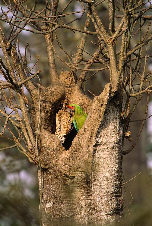 Guayaquil Macaw in Nest Hole<br />Ara ambigua guayaquilensis<br />Cerro Blanco Reserve, Guayaquil, ECUADOR<br />RANGE; Western Ecuador & SW Colombia