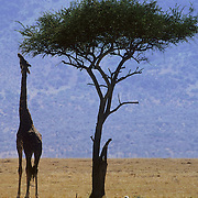 Giraffe (Giraffa camelopardalis) feeding on an Acacia Tree in the shade. Masai Mara National Reserve, Kenya