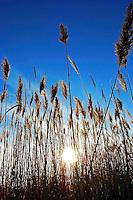 Sunlight through the reeds near Utah Lake in Utah.