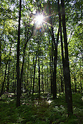 The sun shines through the canopy of a second- or third-generation forest in the proposed addition to the Hickory Creek Wilderness in the Allegheny National Forest, Warren County, Pennsylvania.