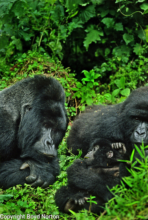 Proud papa; silverback mountain Rugabo; Virunga National Park, Zaire (now Democratic Republic of the Congo); Rugabo killed by poachers in 1994.
