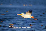 00671-00415 American White Pelican (Pelecanus erythrorhynchos) in flight Hans Suter W.A., Corpus Christi   TX