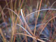 Wild grass, Arizona,