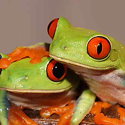 The Red Eyed Tree Frog (Agalychnis callidyas) also known as Red Eyed Leaf Frog. Lives throughout Central America in lowland tropical forests, feeds on small invertebrates.  Captive Animal.