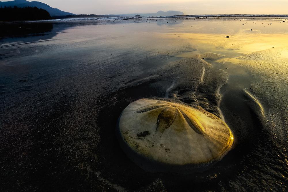 Sand dollar, evening light, Hobuck Beach, Makah Reservation, Olympic Peninsula, WA, USA