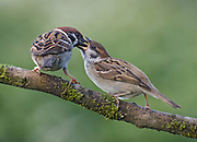 Tree sparrow, Passer montanus, feeding fledgling, on branch in garden in Lancashire, England