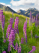 Purple lupines bloom along the roadside on the way from Te Anau to Milford Sound, Fiordland National Park, Southland, New Zealnand
