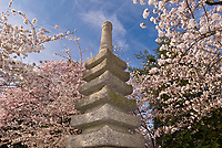 Cherry Blossoms surround the Japanese Stone Pagoda, Cherry Tree Walk, Tidal Basin, Washington D.C., U.S.A.