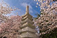 Cherry Blossoms surround the Japanese Stone Pagoda, Cherry Tree Walk, Tidal Basin, Washington D.C., U.S.A.