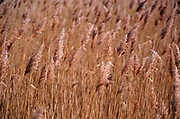 AE2CK5 Marshland reedbeds on drained land at Hollesley Suffolk England