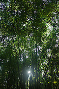 Sunburst in bamboo forest