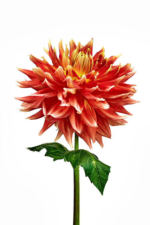 Sewickley, PA - September 16:  A portrait of OMG dahlia grown from a tuber by the photographer in her garden in Sewickley Heights, PA during the summer of 2020. (Photo by Shelley Lipton)