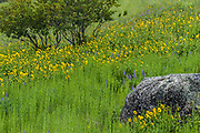 Balsamroot, Methow Valley, Okanogan County, Washington, USA